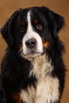 Berneński góra psa obsiadanie w studiu na brown blackground