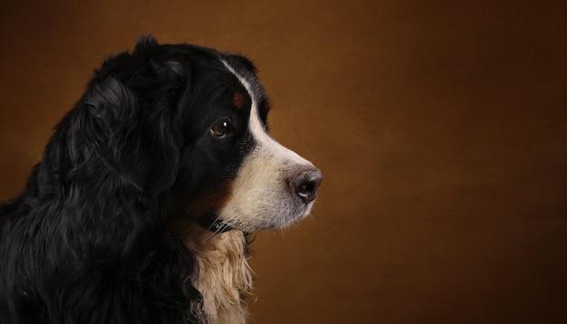 Berneński góra psa obsiadanie w studiu