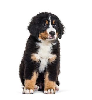 Berneński pies pasterski, 3 miesiące, siedzący przed białą powierzchnią