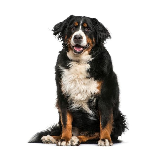 Berneński pies pasterski, 6 lat, siedzący przed białą powierzchnią