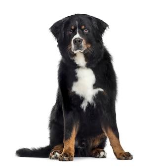 Berneński pies pasterski, na białym tle