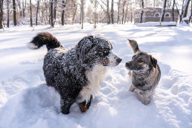 Berneński pies pasterski pokryty śniegiem bawi się z bezdomnym psem w dużych zaspach śnieżnych