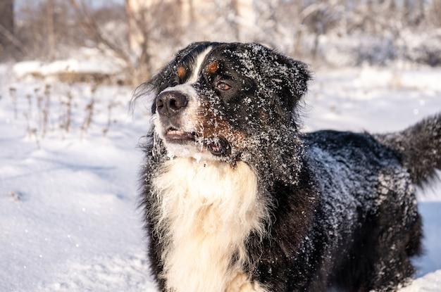 Berneński pies pasterski pokryty śniegiem idący przez duże zaspy śnieżne. dużo śniegu na zimowych ulicach