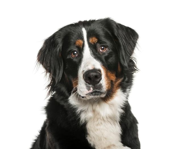 Berneński pies pasterski przed białą powierzchnią