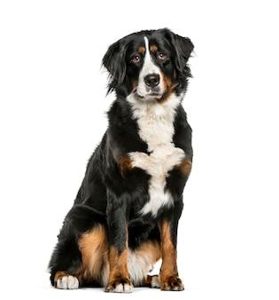 Berneński pies pasterski siedzący przed białą powierzchnią