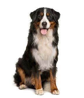 Berneński pies pasterski siedzący przed białą ścianą
