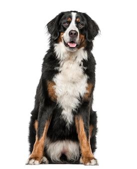Berneński pies pasterski siedzi i dyszy