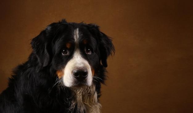 Berneński pies pasterski siedzi w studio na brązowym blackground i patrząc na kamery