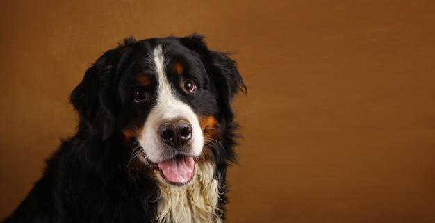 Berneński pies pasterski w studio