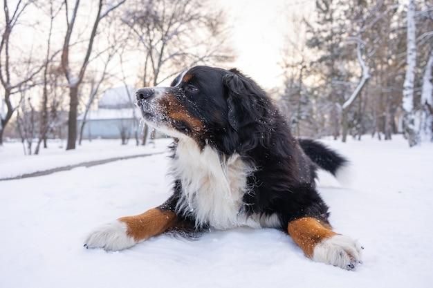 Berneński pies pasterski ze śniegiem na głowie. szczęśliwy pies leżący na śniegu