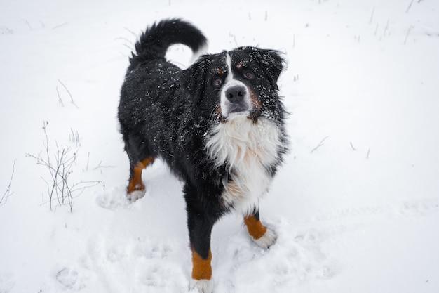 Berneński pies pasterski ze śniegiem na głowie. szczęśliwy pies spacer w śnieżną zimę