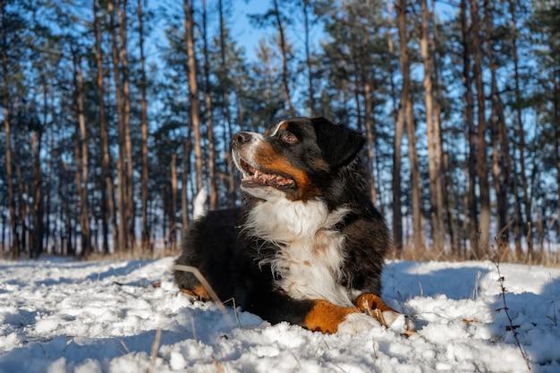 Berneński pies pasterski ze śniegiem na nosie na śnieżną zimę. zabawny zwierzak leżący w zaspach śniegu