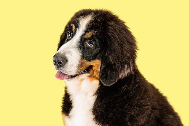 Berner sennenhund szczeniak na żółto