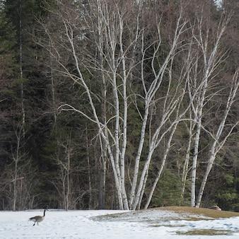 Bernikla kanadyjska spaceru w pokryte śniegiem krajobrazu, riverton, hecla grindstone provincial park, manito
