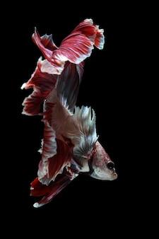 Betta fish bojownik syjamski na czarnym tlewalka z betta na białym tle na czarnym backgrou