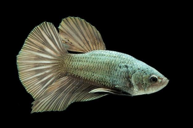 Betta fish solid cooper halfmoon siamnese fighting fish na czarnym tle