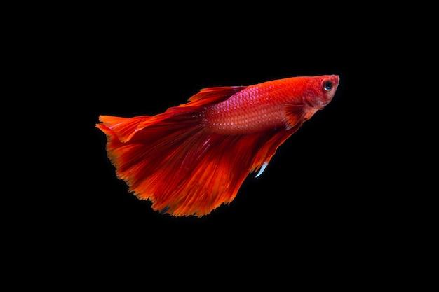 Betta ryb na czarno