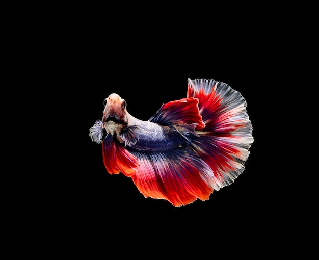Betta ryb, walki syjamskie, betta splendens na białym tle na czarnym tle