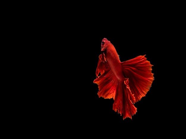 Betta ryba, bojownik, betta splendens odizolowywający na czarnym tle