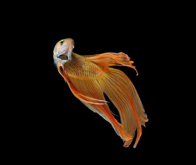Betta ryba odizolowywająca na białym tle