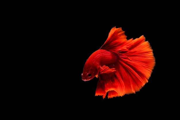 Betta ryba, syjamska bój ryba, betta splendens odizolowywający na czarnym tle