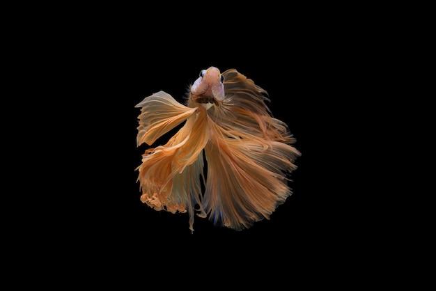 Betta ryba