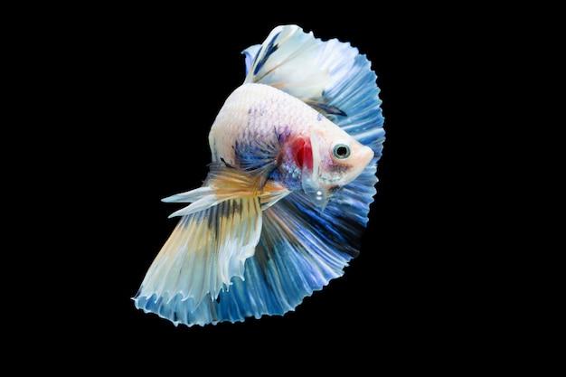 Betta splendens, syjamska ryba walcząca