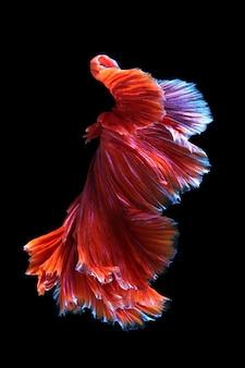 Bettafish Na Czarnym Tle. Uchwyć Poruszający Moment Bojowników Syjamskich Premium Zdjęcia