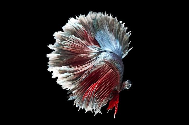 Bettafish na czarnym tle. uchwyć poruszający moment bojowników syjamskich