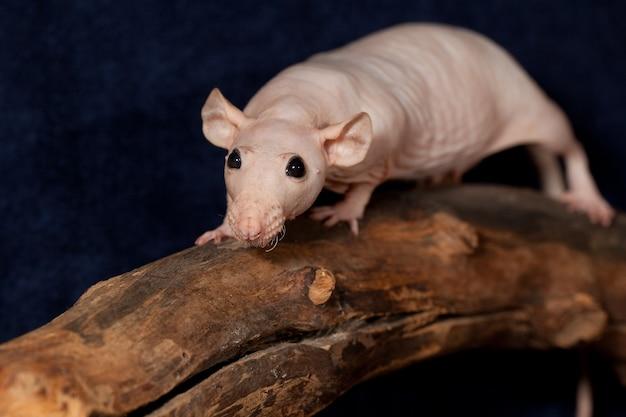 Bezczelny bezwłosy szczur chodzący po gałęzi w ciemnoniebieskim tle