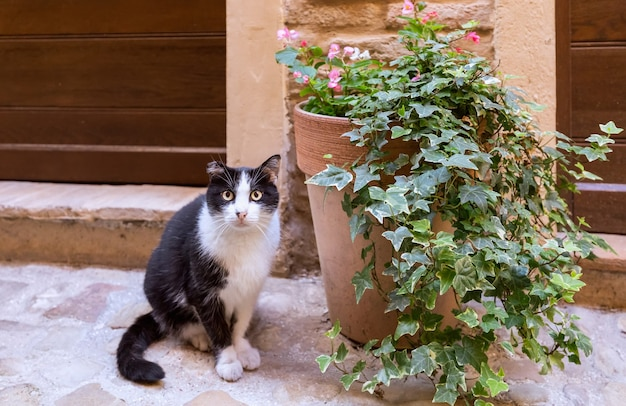 Bezdomny czarno-biały kot na ulicy we włoskim mieście