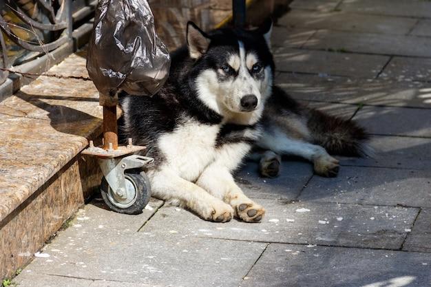 Bezdomny pies husky na ulicy miasta