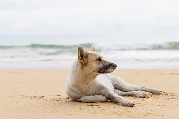 Bezdomny pies na piaszczystej plaży. bezdomny pies relaksuje na brown piaska tropikalnej plaży.