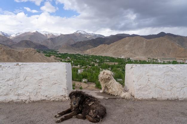 Bezdomny pies na północy indii
