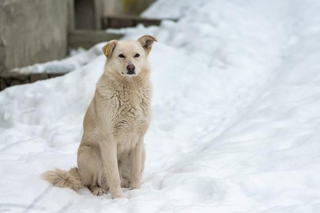 Bezdomny pies z chipem w uchu na drodze zimą