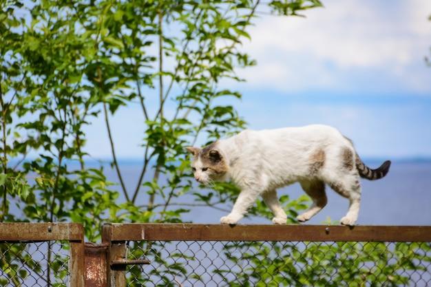 Bezdomny trójkolorowy (biały, czarny i brązowy) kot z podrapanym nosem nie boi się upadku. bezpański kot chodzi po szczycie ogrodzenia na tle morza i chmur.