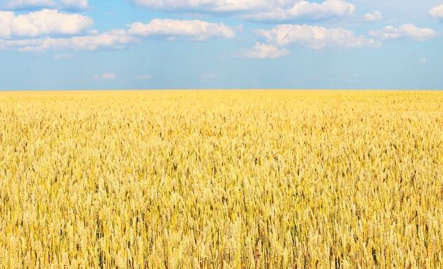 Bezkresne pole pszenicy, cofające się w oddali za horyzontem