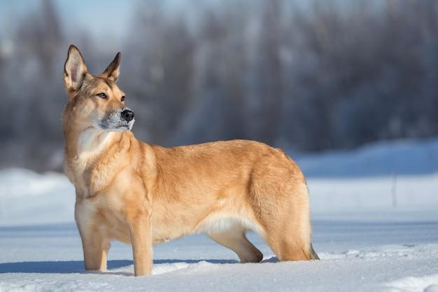 Bezpański pies, który mieszka na ulicy. kundel w śniegu