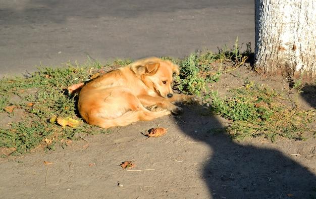 Bezpański pies o rudej, złotej sierści leży na ziemi przy drzewie w słoneczny poranek. mężczyzna cień nad nią