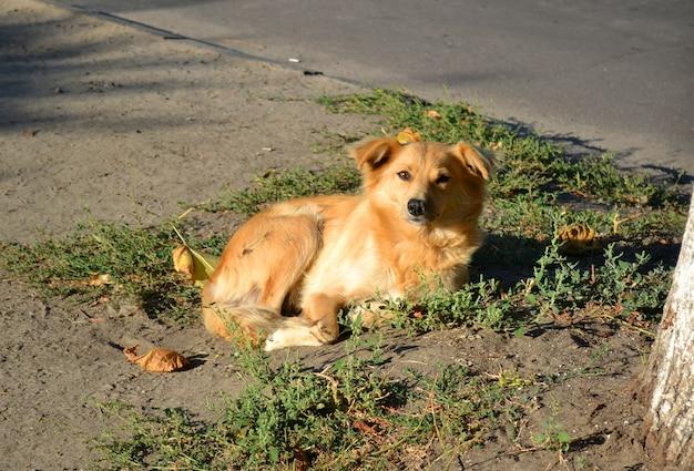 Bezpański pies o rudej, złotej sierści leży na ziemi przy drzewie w słoneczny poranek.