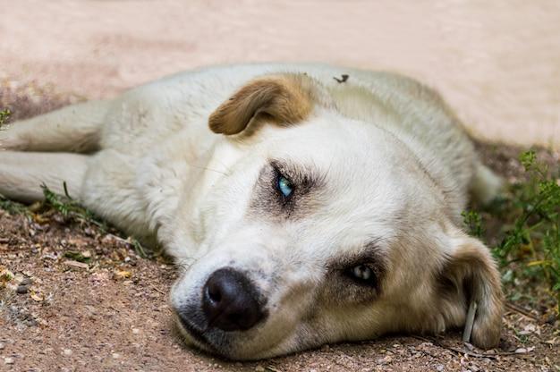 Bezpański pies z niebieskimi oczami kłama na ziemi w parku
