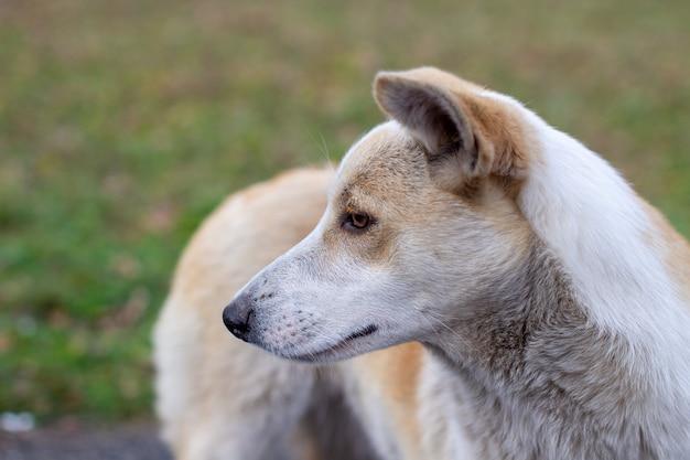 Bezpański, porzucony pies o bardzo smutnych i inteligentnych oczach. pies biega po parku obok ludzi.