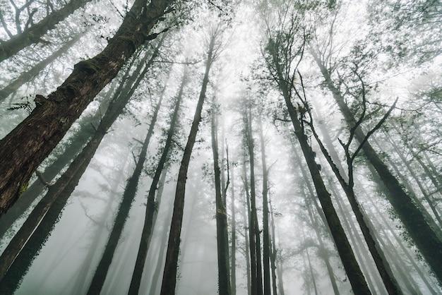 Bezpośrednie światło słoneczne przez drzewa cedru japońskiego z mgłą w lesie w alishan national forest recreation area zimą w chiayi county, alishan township, tajwan.