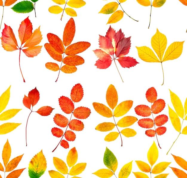 Bezszwowa kolekcja pięknych kolorowych jesiennych liści na białym tle