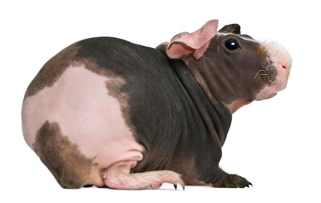 Bezwłosa świnka morska stojąca