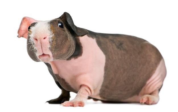 Bezwłosa świnka morska