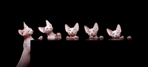 Bezwłose białe koty rasy sfinks kanadyjski