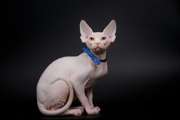 Bezwłosy kot sfinks kanadyjski z muszką, na białym tle