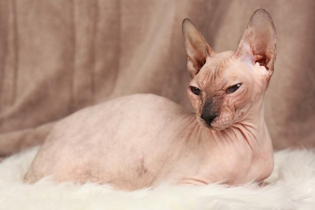 Bezwłosy kot sfinks na tkaninie