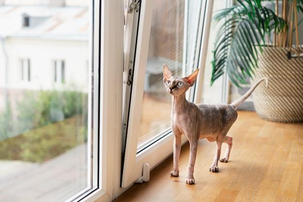 Bezwłosy kot stojący przy oknie